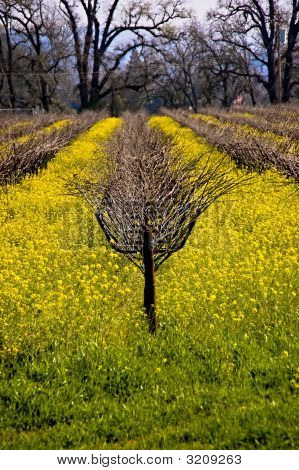 Grapevines And Mustard