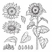 Sunflower Sketch. Vector Seeds, Blooming Flowers Collection. Illustration Sunflower Sketch And Drawi poster