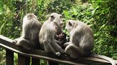 Monkey Mother Breastfeeds Baby. Monkey Macaque In The Rain Forest. Monkeys In The Natural Environmen poster