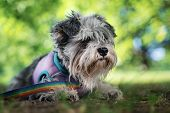 Portrait Of A Cute Dog Miniature Schnauzer, Lies On The Grass In The Park.  Puppy  Training And Obed poster