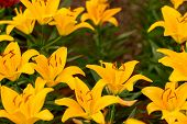 Lily Flowers. Beautiful Lily Flower In Lily Flower Garden. Lily Lilium Hybrids Flower. Lily Flower.  poster