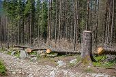 Deforested Area In A Forest With Cutted Trees In Tatras, Poland. Felling The Trees poster