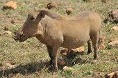 image of sub-saharan  - Warthog or Common Warthog  - JPG