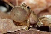 Male Spring Peeper Calling For a Mate