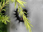 Macro Photography Of Hairy Caterpillar Climbing On Green Leaves poster