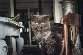 Close Up Of Grumpy Cat. Grumpy Cat Portrait. Close Up Of Grumpy Cat On Chair. Cat. Nature. Cat Sitti poster
