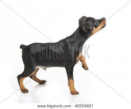 Miniature Pinscher puppy isolated