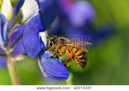 Bee collecting pollen from bluebonnet