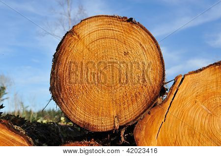 Fresh Piled Tree