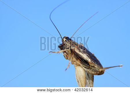 A Kind Of Orthoptera Insects Named Crickets