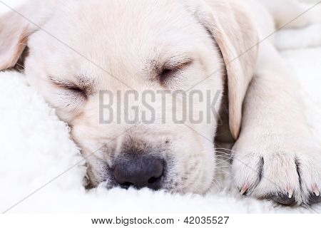 Close up of Labrador retriever puppy dog sleeping on white bed