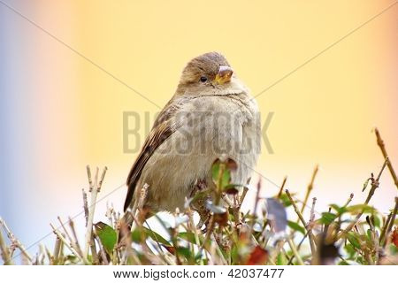 Sparrow On A Bush
