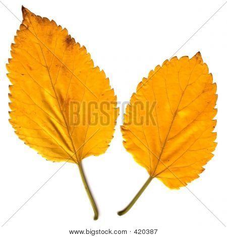 2 Autumn Leaves
