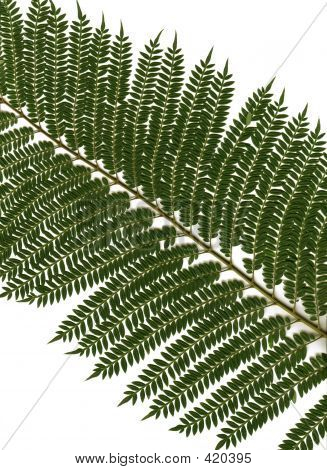 Jacaranda Foliage