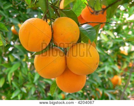 Orange On A Tree