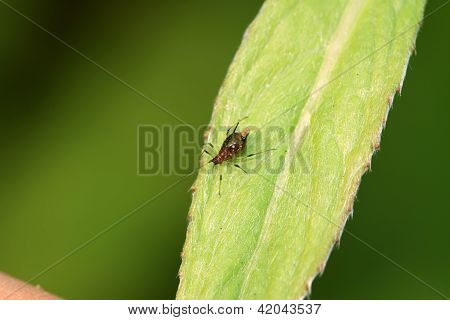 Aphid On A Green Leaf