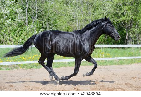 Black stallion of Russian riding breed gallops on manege