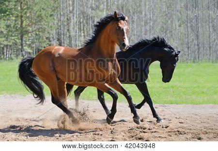 Bay stallion of Ukrainian riding breed and black stallion of Russian riding breed