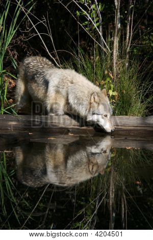 Wolf Reflection Ii