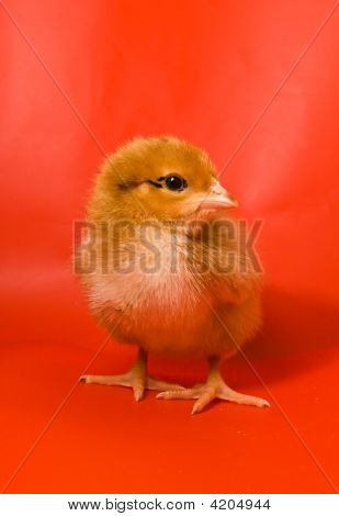 Chicken On A Red Background