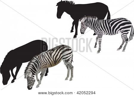 illustration with zebra isolated on white background