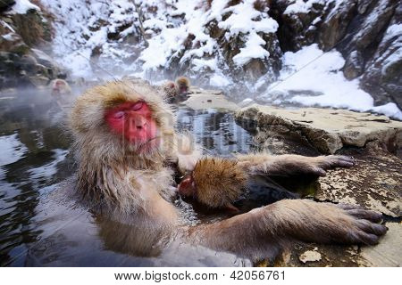 A Japanese Macaque relaxes in the hot spring protecting its young.