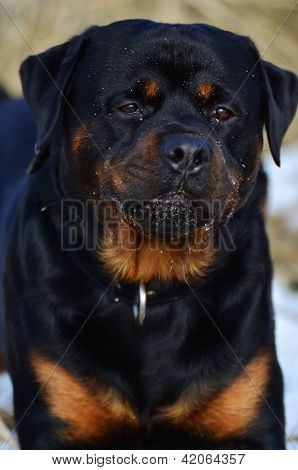 Intelligent Placid Rottweiler Portrait
