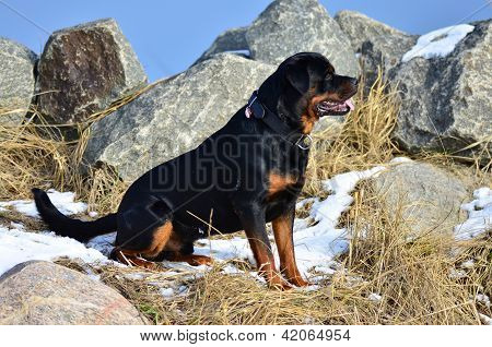 Profile Portrait Of A Sitting Rottweiler