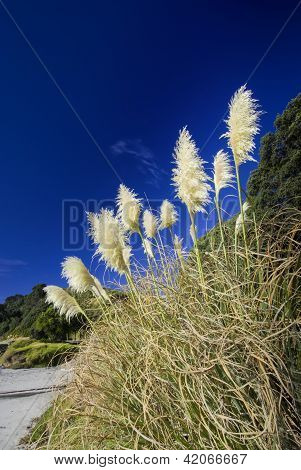 Toi toi plant, Beach, New Zealand.