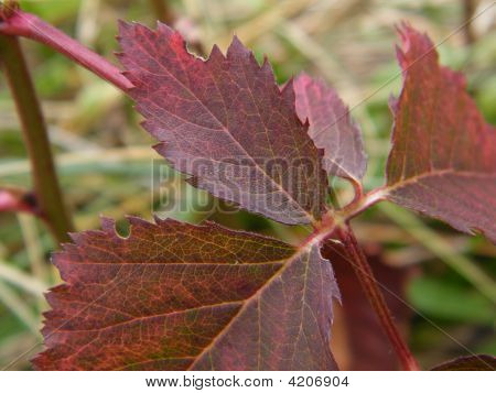 Blackberry Leaf