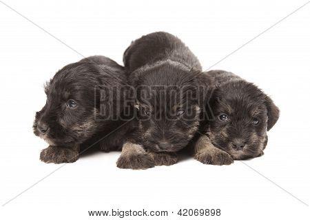 Three Black Puppies Of Miniature Schnauzer