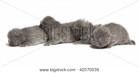 Four British Blue Shothair Kittens
