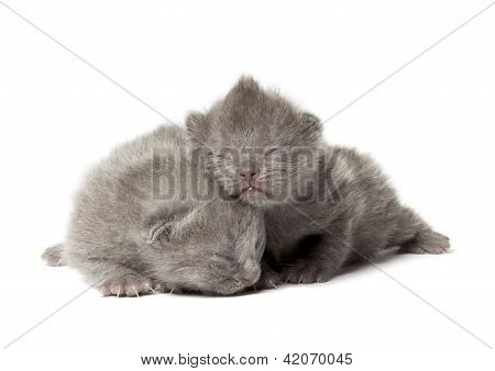 Two British Blue Shothair Kittens