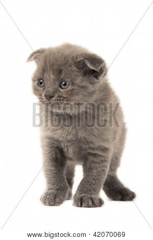 British Blue Shothair Kitten