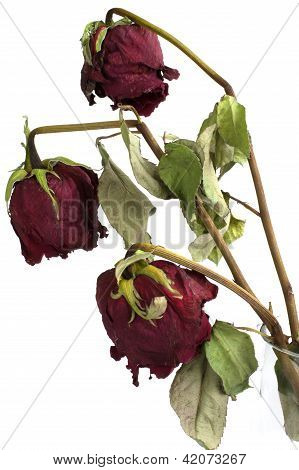 Three Wilted Roses Isolated On White Background