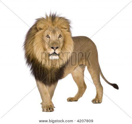 León (8 años) - Panthera Leo