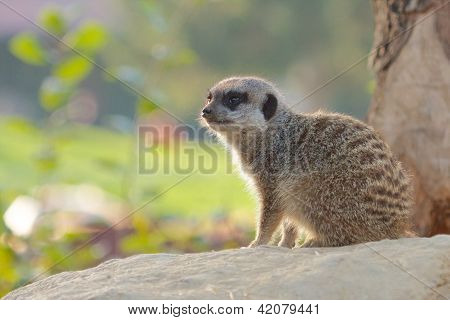 Mongoose On A Rock