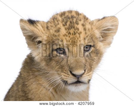 Lion Cub (7 Weeks) In Front Of A White Background