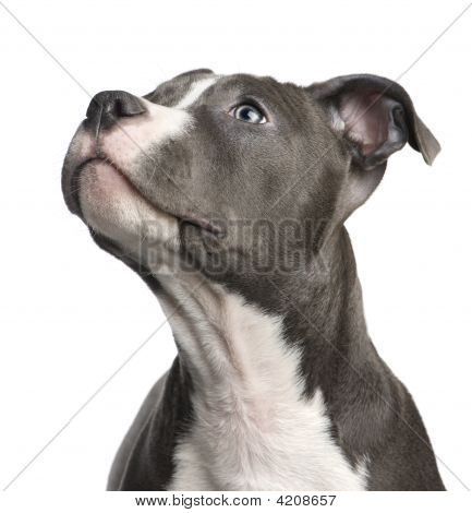American Staffordshire Terrier Puppy (3 Months)