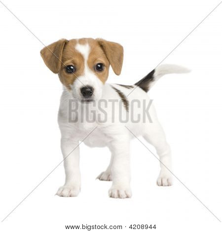 Puppy Jack Russell (7 Weeks)
