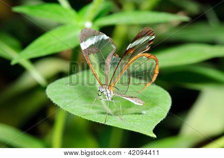 Glasswing (Greta oto) on a leaf