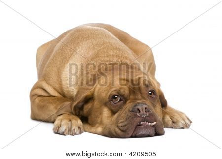 Dogue De Bordeaux (3 Years)