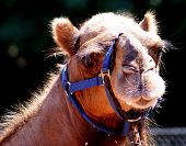 Domesticated Dromedary Camel poster