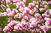 foto of magnolia  - Springtime shot with magnolia blossoms on the tree with soft light - JPG