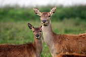 stock photo of deer family  - mother and baby red deer looking in the camera - JPG