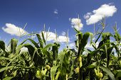 stock photo of maize  - Corn tassel and corn in a corn field - JPG
