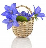 picture of harebell  - Campanula blue flower in wooden basket isolated on white background - JPG