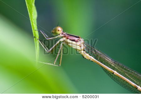 Female Common Blue Damselfly