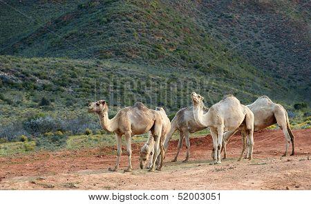 Five Camels