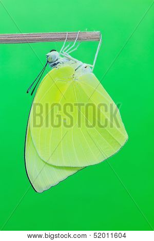 Male Lemon Emigrant Butterfly